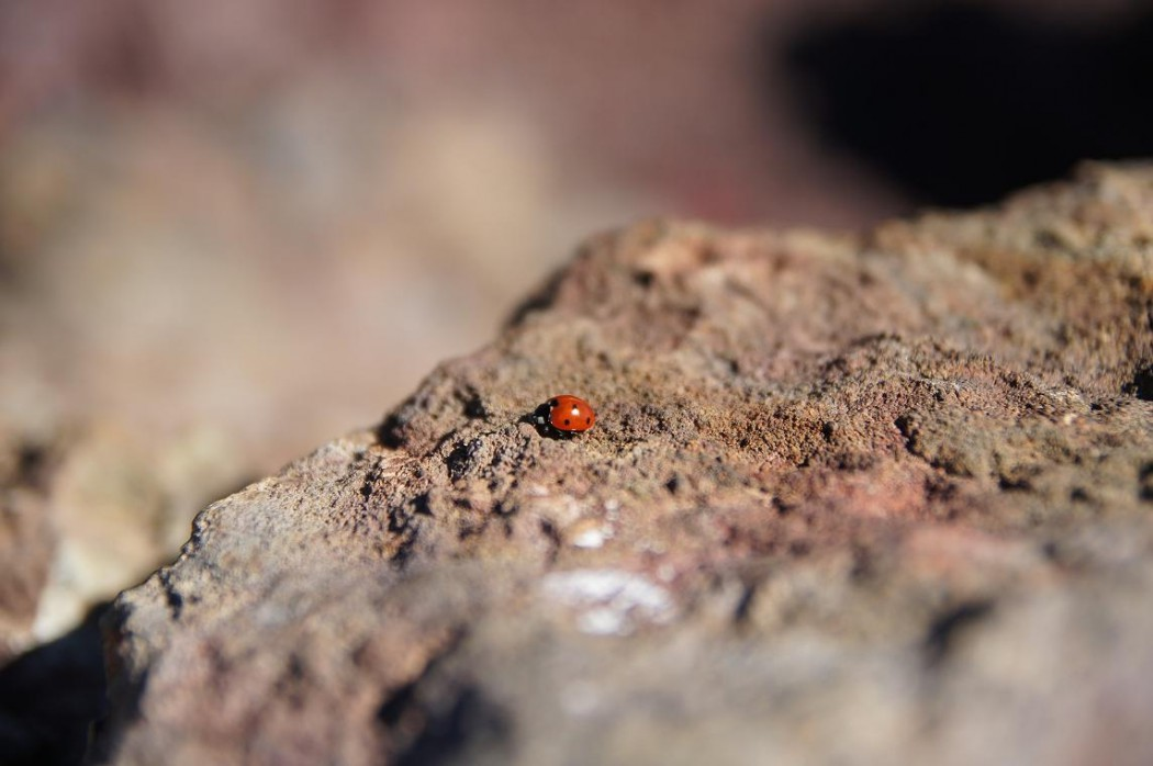 Ein Marienkäfer auf dem Vulkangestein am Ätna