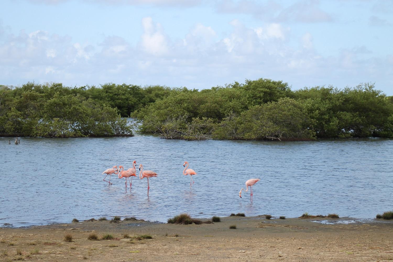 Flamingos am Gotomeer auf Bonaire