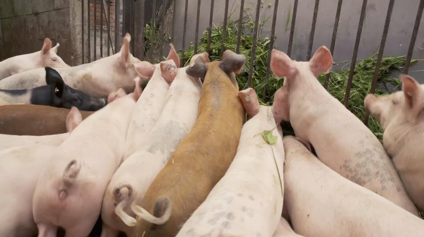 Die TUI Cruises Kleeschweine werden mit frischem Kleegras gefüttert