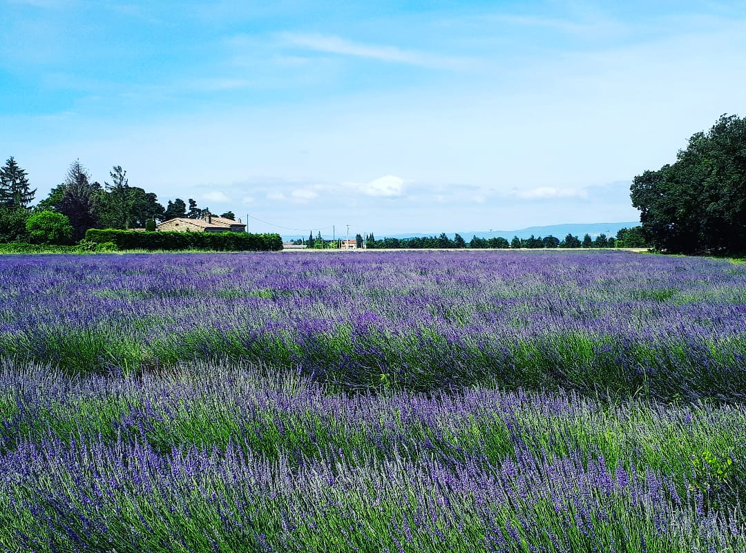 Ein Lavendelfeld in Südfrankreich
