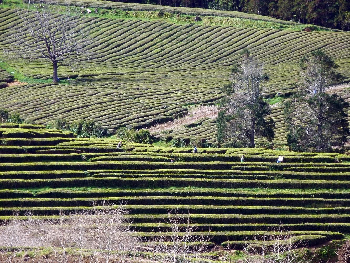 Mein Schiff Ausflugsziel: Teeplantagen Ribeira Grande