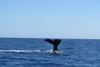 Mein Schiff Erlebnis: Wal- und Delphin-Beobachtung auf den Azoren