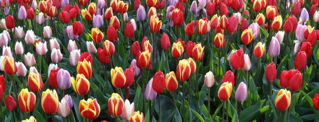 Tulpen aus Amsterdam gibt es auch auf einem Mein Schiff Ausflug zu sehen