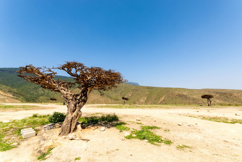 Das Mein Schiff Auflug: Weihrauchbäume in der Region Dhofar nahe Salalah im OmanWadi Darbat vom Mein Schiff Reiseziel Salalah - hier leben wilde Kamele